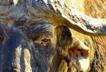 buffalo_hunting (2)