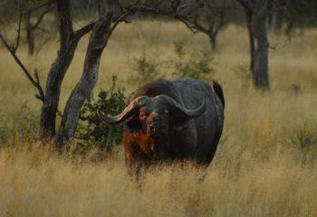 buffalo_hunting (4)