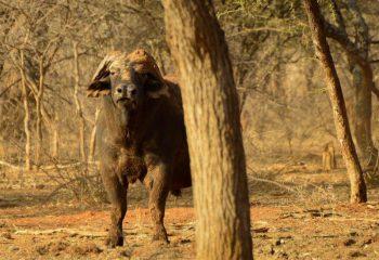 buffalo_hunting (6)