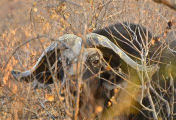buffalo_hunting (7)