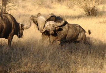 buffalo_hunting (8)